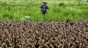 Duck Herding Described in Just a Couple of Chickens