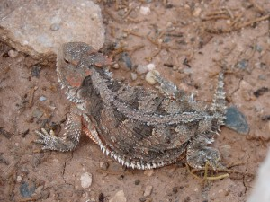 Horned Lizard of Self Publishing Advice