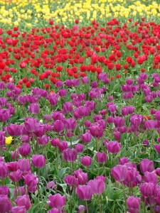 Self Publishing Advice Tulip Field