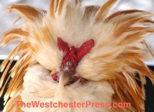 Just A Couple Of Chickens tells about Buff Laced Polish Chickens