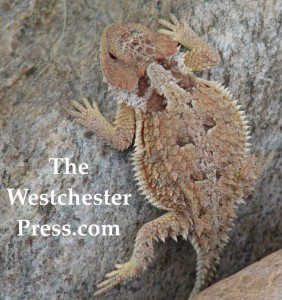 Horned Lizard and The Westchester Press