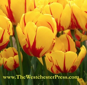 It is Tulip Time here in Portland, and my bulbs of do it your self publishing are getting ready to bloom.